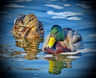 Drake and duck on the lake. Mallard - a bird from the family of ducks detachment of waterfowl. The most famous and common wild duck stock photo