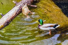 The drake and duck mallard on the water in the spring pond extract food at the bottom.  Stock Photos