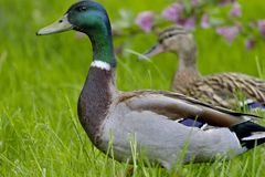 Drake and duck in the meadow. Mallard - a bird from the family of ducks detachment of waterfowl. The most famous and common wild duck stock images