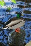 Drake Duck que senta-se em uma rocha foto de stock royalty free