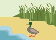 Drake duck river flat cartoon vector farm wild animal bird. Drake duck on river bank habitat background flat design cartoon vector farm wild animals birds. Flat Royalty Free Stock Photos