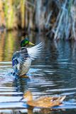 Drake duck spreads wings in South park, Sofia. Drake duck beautifully spreads his wings and female mallard duck, blurred, swims in front of it in a lake in South Stock Images