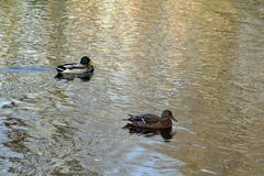 Drake and duck swimming together stock images