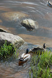 Drake and duck swimming on the water near green grass and grey s. Drake and duck swimming on the water near green grass (vegetation) and grey stones on the river Royalty Free Stock Image