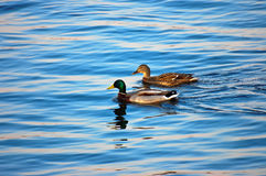 Drake and duck. Swims on the river Royalty Free Stock Photography