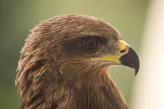 Drake - Eagle Royaltyfri Bild