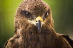 Drake - Eagle Arkivfoto