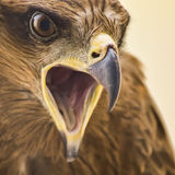Drake - Eagle Arkivbilder