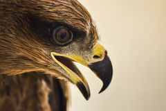 Drake - Eagle Royaltyfri Fotografi