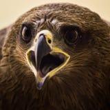 Drake - Eagle Royaltyfri Foto