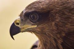 Drake - Eagle Arkivbild