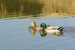 Drake ed anatra - un maschio e una femmina Mallard ducks il lat Platyrhynchos di anas, uccelli della separazione delle anatidae d Fotografie Stock