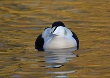 Eider. Drake Eider at Slimbridge Wildfowl and Wetlands Trust Stock Photos