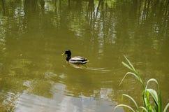 Drake en el lago Fotografía de archivo