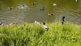 Drake en el parque de la ciudad abajo al agua en la charca ?l hace su manera a trav?s de la hierba y de los flotadores en el agua metrajes