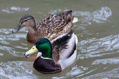 Drake et femelle des canards de canard Images libres de droits