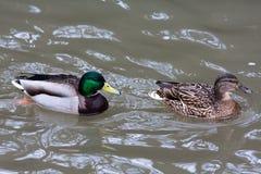 Drake et femelle des canards sur l'eau Image libre de droits