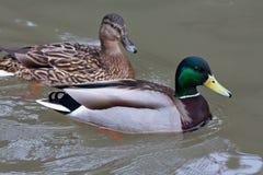 Drake et la femelle du canard se penche sur l'eau Photo stock