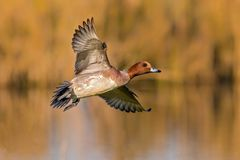 Free Drake Eurasian Wigeon - Anas Penelope Flying Over A Reedbed. Royalty Free Stock Image - 104419586