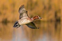 Wigeon Drake Flying
