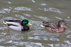 Drake and female of ducks on the water. Drake and female of mallard ducks (Anas platyrhynchos) in breeding plumage on the water Royalty Free Stock Image