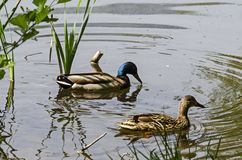 Drake and female mallard duck swimming in the lake, South park. Sofia, Bulgaria Royalty Free Stock Photo