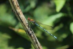 Drake-fluga Royaltyfria Foton