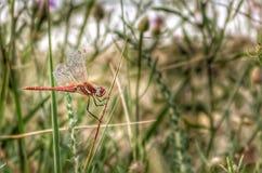 Drake-fluga Royaltyfria Bilder