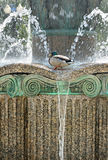 Drake in fountain among splashes and drops of water Royalty Free Stock Photography