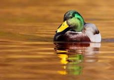 Drake on the golden lake Stock Image