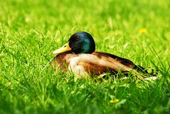 Drake in grass Royalty Free Stock Photography