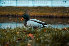 Drake in the Grass. Wild duck. Pond royalty free stock photos