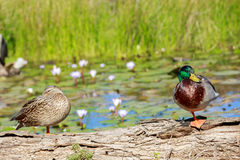 Drake with the green head and a wild duck standing on a log on a pond. With water lilies Royalty Free Stock Photo
