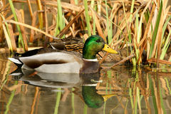 Drake and Hen Mallard. In Autumn Weeds Royalty Free Stock Photo