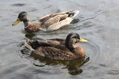 Mallard Ducks Drake & Hen. Drake & Hen, Mallard Ducks swimming in a small pond in late Autumn season Stock Image