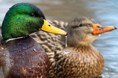 Drake and Hen. Mallard drake and hen on pond Stock Photo