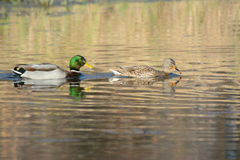 Drake And Hen Mallard Swimming On Pond. Engaging closeup of a drake and hen mallard duck, swimming together on a brightly illuminated freshwater pond Stock Photos