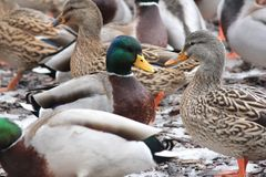 Mallard Drake & Hen Anas platyrhynchos. Drake and Hen Mallards Anas platyrhynchos standing on land covered with patches of ice Stock Photography