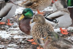 Mallard Drake & Hen Anas platyrhynchos. Drake and Hen Mallards  Anas platyrhynchos standing on land covered with patches of ice Royalty Free Stock Photo
