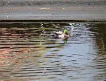 Duck on a lake stock photo