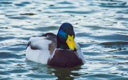 Drake on lake Royalty Free Stock Photography
