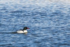 Drake Male Common Merganser Imagem de Stock Royalty Free
