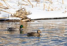Drake and Hen Mallard. A Drake male and Hen female mallard swim in a river Stock Images