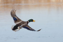 Drake Mallard. Flying over an icy pond Royalty Free Stock Photos