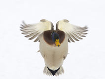 Drake Mallard Coming At You. Drake Mallard flying directly towards you Stock Photography