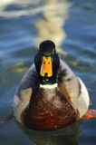 Drake, Mallard Duck Stock Photo
