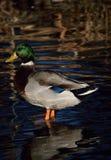 Drake Mallard Duck Royalty-vrije Stock Afbeeldingen
