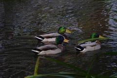 Drake Mallard Duck Stock Fotografie