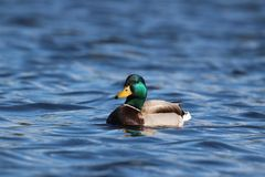 Drake Mallard Duck on the Blue Lake. A drake mallard duck swimming on a blue lake.  The green head of the bird is iridescent in the sunlight Stock Photo