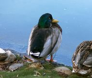 Mallard Duck Drake. A drake Mallard duck close up,California Stock Photo